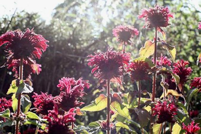 BergamotBlossoms1