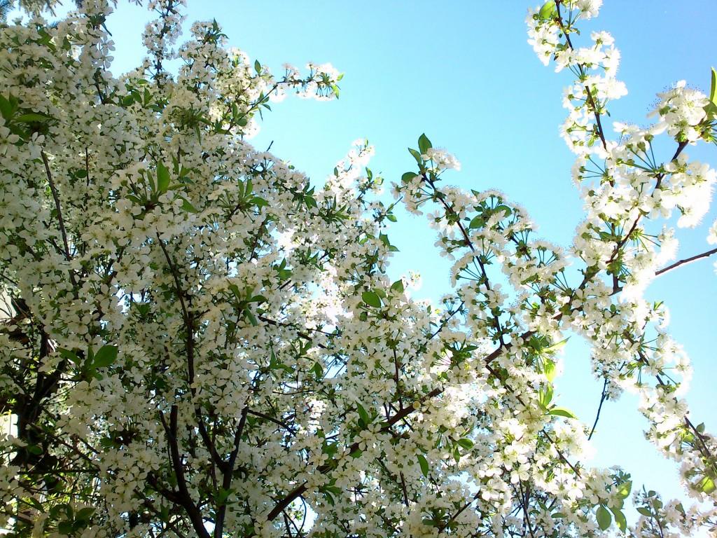 wiśnia kwitnąca w moim ogrodzie, wydzielająca piękny zapach wyczuwalny z silnym podmuchem wiatru