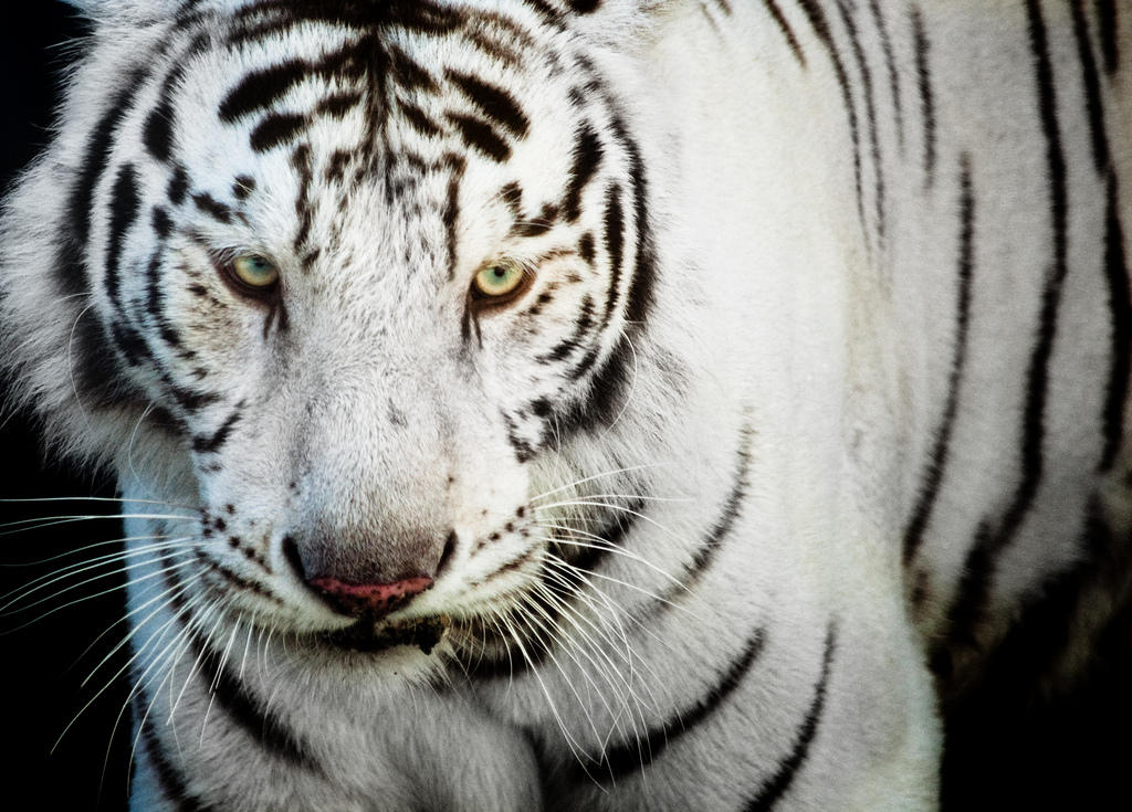 white-bengal-tiger-1