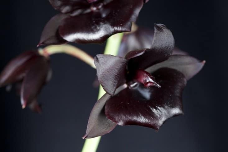 Czarna orchidea - jedna z głównych nut Euphorii
